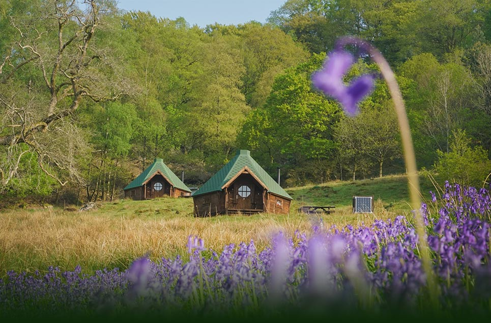 Bluebells in full bloom outside of the log Cabins